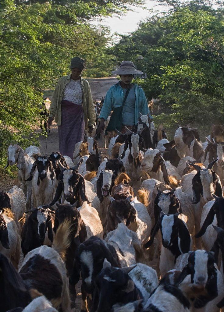 kozy ,ludzie,droga,kurz,bagan,birma
