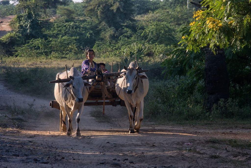 Zaprzęg,ludzie,woły,bagan,birma