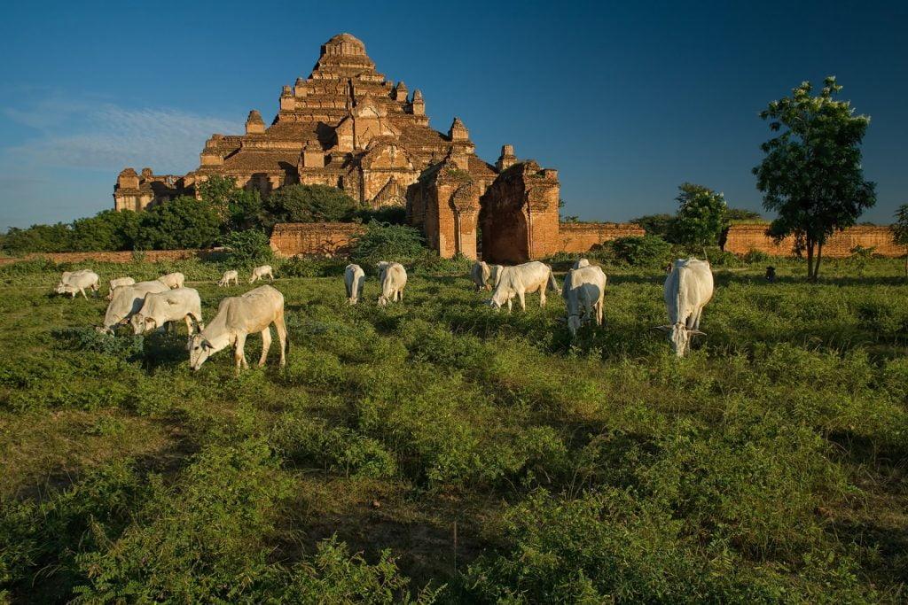 Bagan,pagoda,Birma,bydło