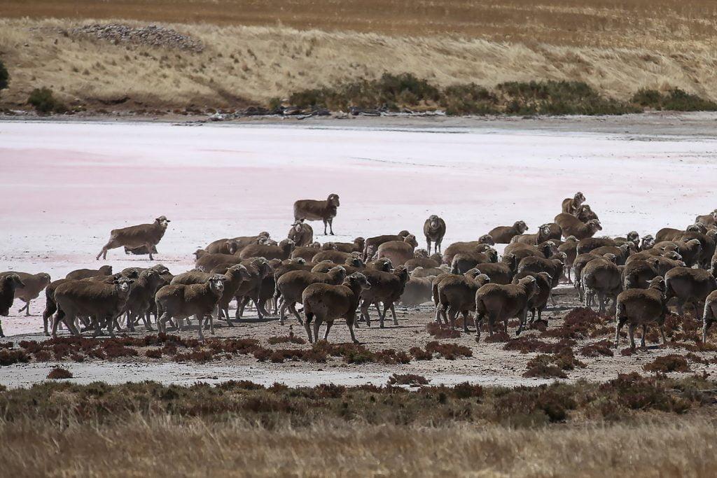 Słone jezioro,owce,Yorke