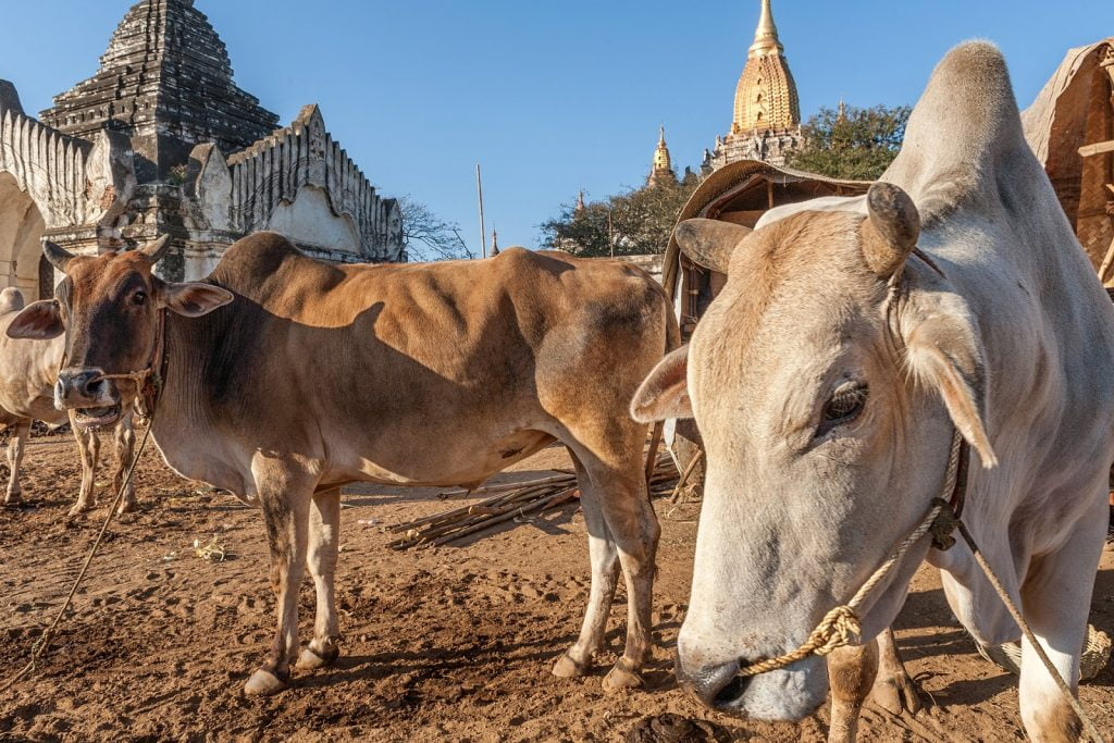targ,bagan,birma,ludzie,pagody,bydło