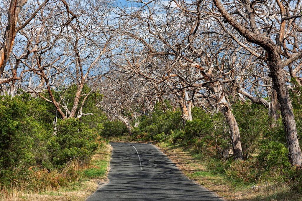 Las  Otway,Great Ocean Road,drzewa