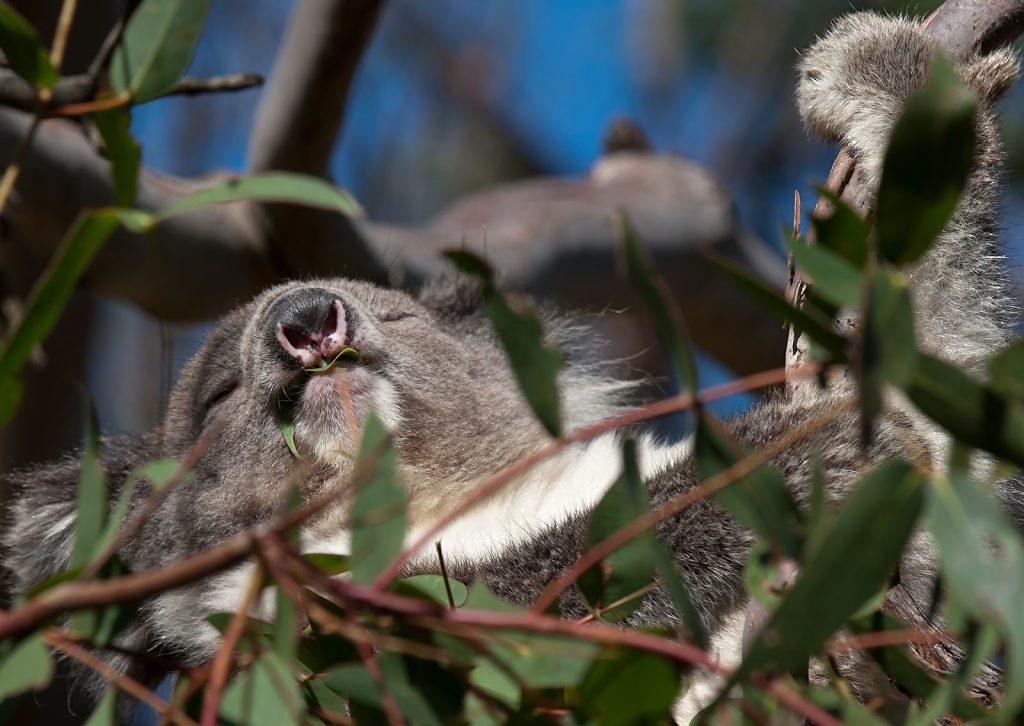 Las  Otway,Great Ocean Road,koala