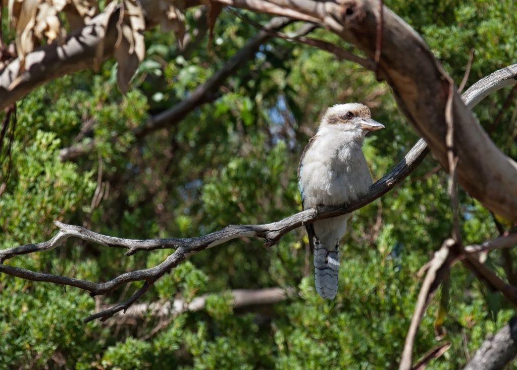 Las  Otway,Great Ocean Road,kookaburra