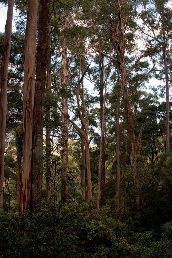 Las  Otway,Great Ocean Road,eukaliptusy