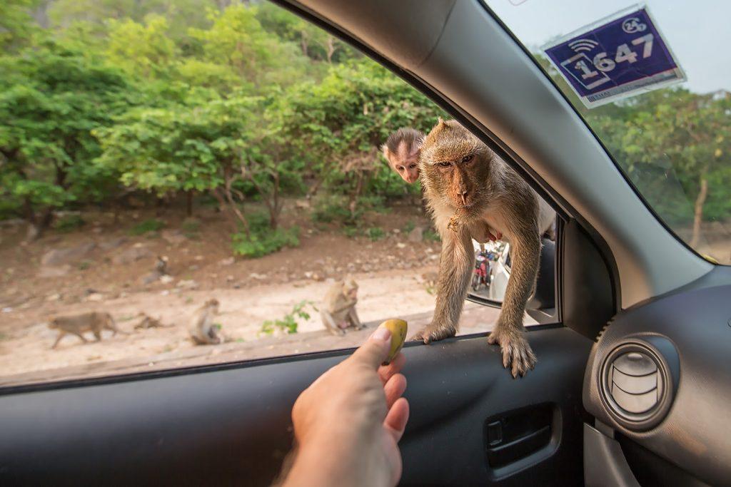makaki,samochód,Tajlandia