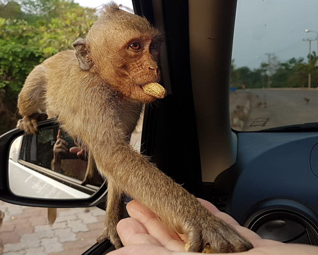 makak,orzechy,Tajlandia