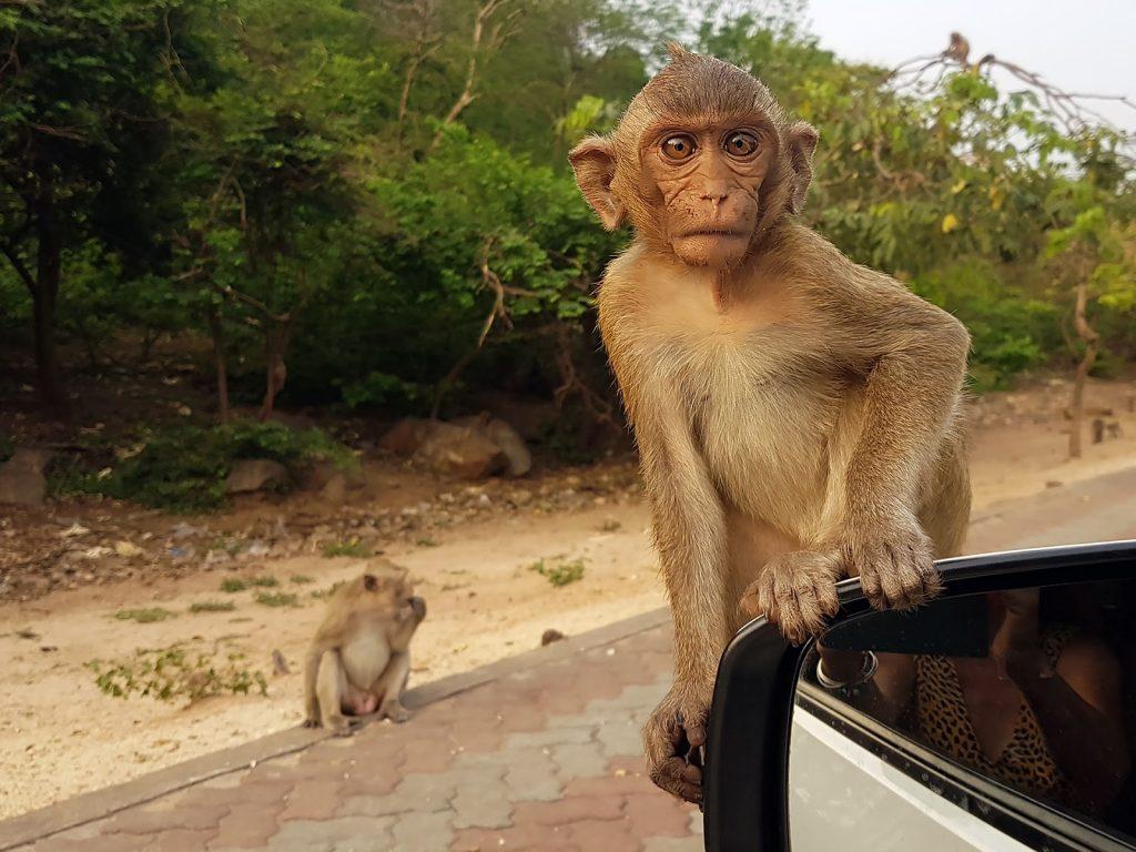 makak,Tajlandia